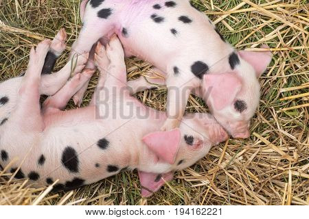 Oxford Sandy and Black piglets sleeping. Four day old domestic pigs outdoors with black spots on pink skin