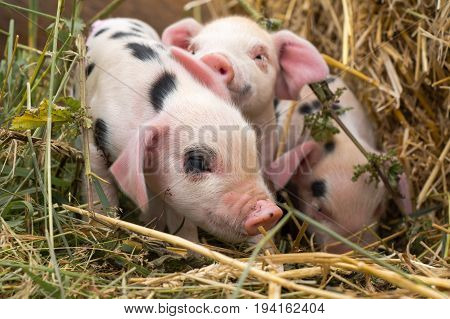 Oxford Sandy and Black piglets in straw. Four day old domestic pigs outdoors with black spots on pink skin
