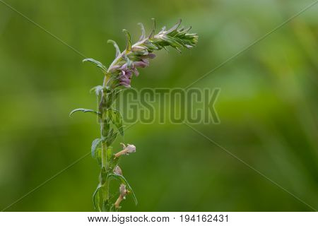 Red bartsia (Odontites vernus) in flower. A parasitic plant in the family Scrophulariaceae showing pink flowers