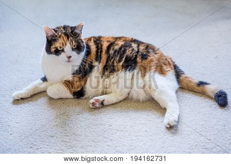 Closeup of old angry calico cat on carpet