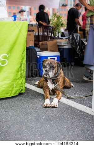 Washington DC USA - September 24 2016: Boxer dog on leash with sad eyes lying down on asphalt and looking up