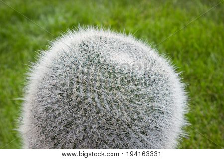 Barbed cactus mammillaria on a lawn background