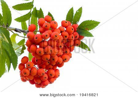 Bright rowan berries on a tree isolated on white background