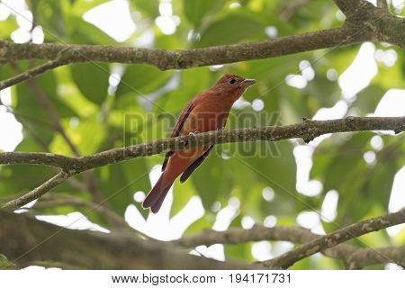 Hepatic Tanager in a tree in Costa Rica