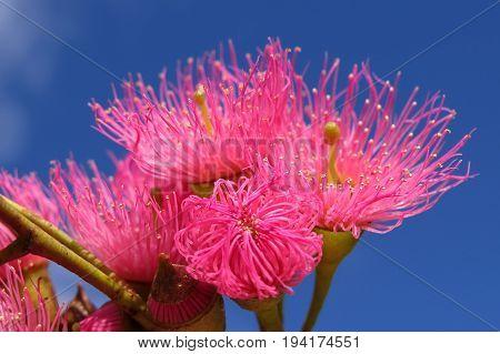 Native Australian pink Eucalyptus gum blossom flowers against blue sky