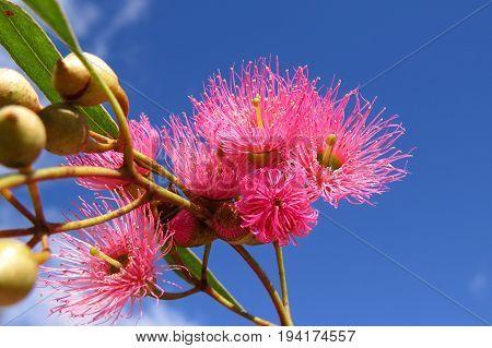 Native Australian pink Eucalyptus gum blossom flowers