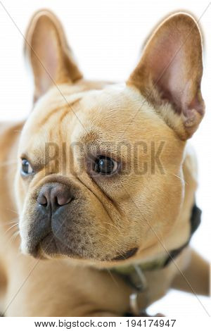 Isolated French Bulldog Head. 1-Year-Old