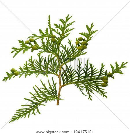 thuja branch isolated on white background close up