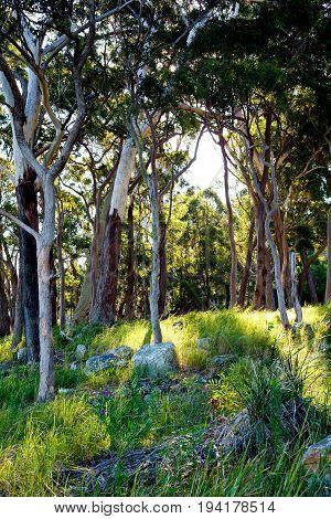 Australian Bushland - Trees, Grass And Rocks