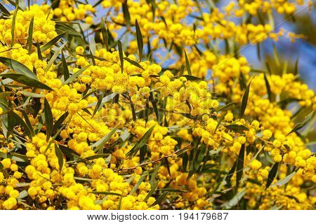 A Bright ripe of yellow mimosa flowers