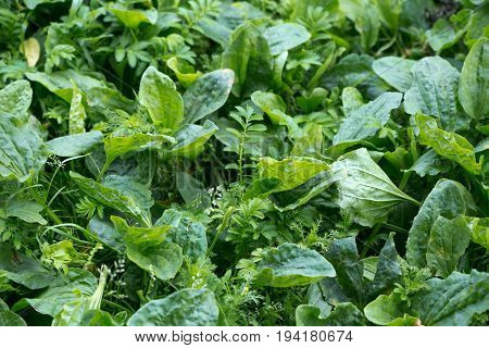 plantain. A green lawn underfoot. Natural background