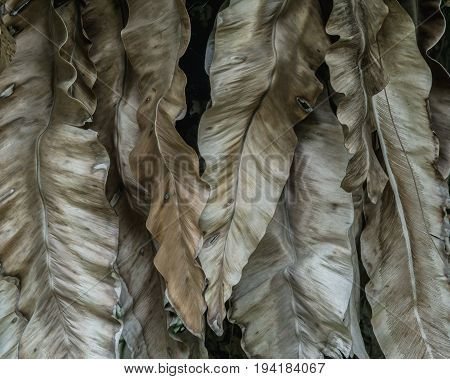 close up dry leaves Aspleniaceae background. Asplenium nidus