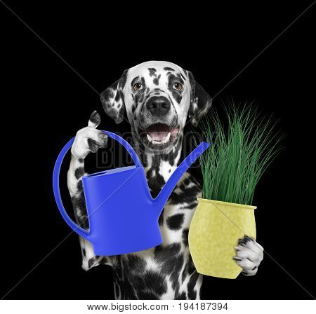 Dalmatian gardener dog with flower and watering can isolated on blackbackground