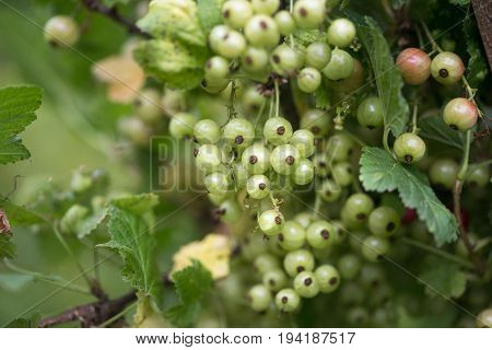 Fruits Green Berries Green Immature Currants. Natural Background