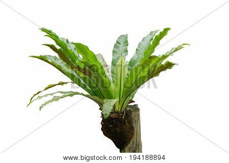 Bird's nest fern (Asplenium nidus) on dry wood isolated on white background File contains a clipping path.