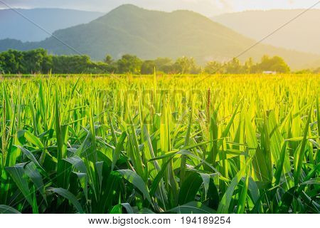 Green corn field in agricultural garden beside mountain