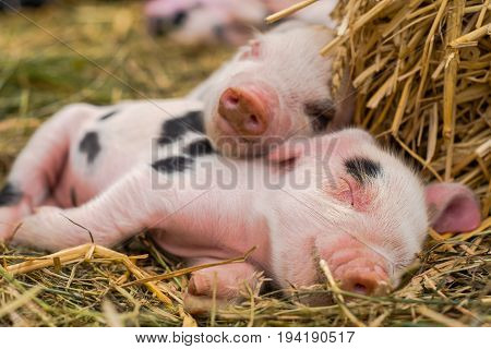 Pair of Oxford Sandy and Black piglets sleeping together. Four day old domestic pigs outdoors with black spots on pink skin