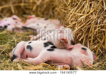 Oxford Sandy Black piglets sleeping. Four day old domestic pigs outdoors with black spots on pink skin