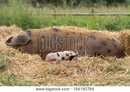 Oxford Sandy and Black sow and piglet. Four day old domestic pigs outdoors with black spots on pink skin