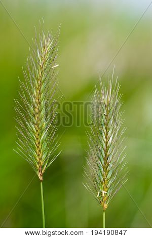 Meadow barley (Hordeum secalinum) flower spikes. Flowering grass in the family Poaceae with long bristle-like glumes
