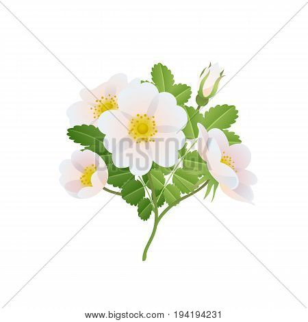 Dog-rose branch with flowers and leaves. Wild rose vector illustration. Rose hips.