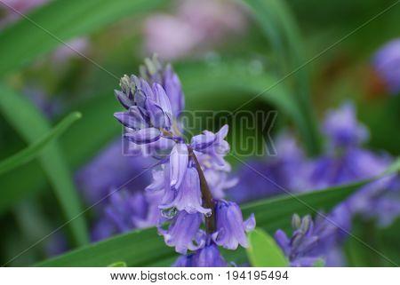 Garden with flowering purple bellflowers blooming in the spring.