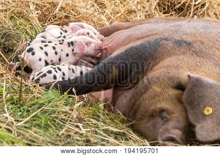 Oxford Sandy Black piglets suckling. Four day old domestic pigs outdoors with black spots on pink skin