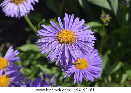 Gorgeous Purple And Yellow Aster Flowers In Nature