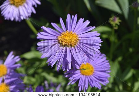 Stunning Abundance Of Aster Flowers in Nature