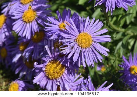 Gorgeous Abundance Of Purple And Yellow Aster Flowers