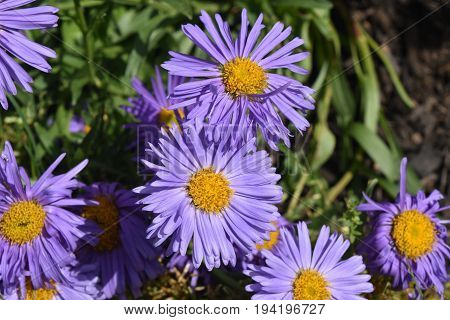 Gorgeous Bloomed Purple and Yellow Aster Flowers