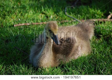 Adorable baby Canadian goose resting in green grass.