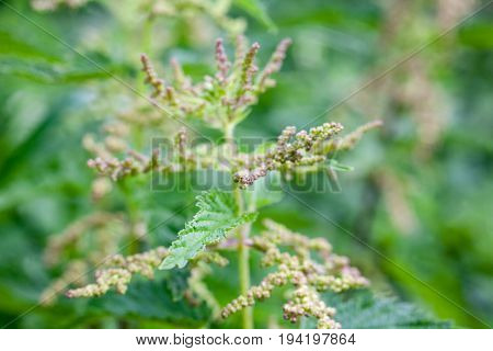 Blooming stinging nettle (Urtica dioica) in the garden. Small numerous flowers in dense axillary inflorescences. Close-up.