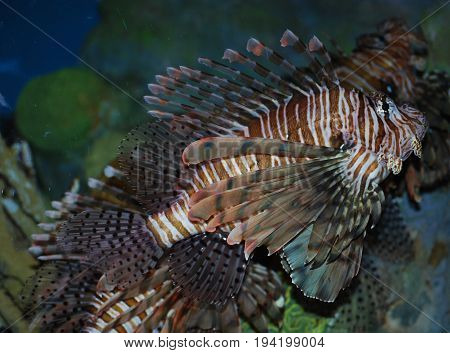 Goregous Abundance of Brown and White Lionfish