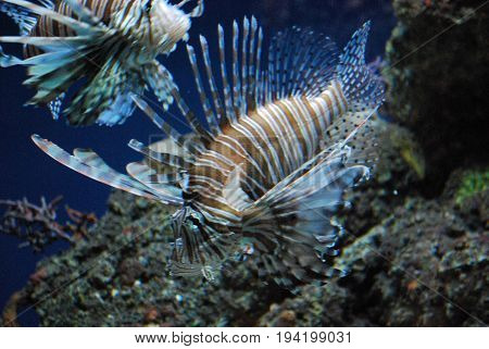 Two Really Gorgeous Brown and White Lionfish