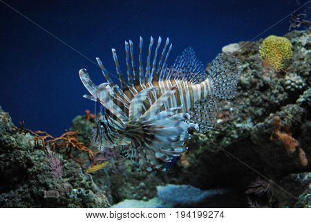 Gorgeous Lionfish With Brown and White Stripes Swimming Around