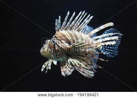 Beautiful Multicolred Lionfish Swimming Around an Aquarium