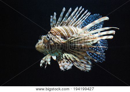 Superb Brown and White Striped Lionfish In Saltwater