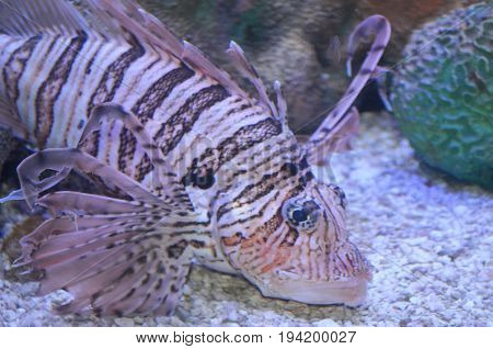 Really Pretty Brown and White Striped Lionfish