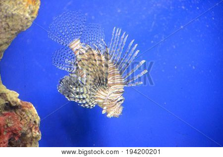 Beautiful Multicolored Lionfish living in the sea