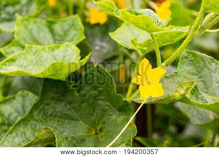 Cucumber yellow flowers creeping vines and green leaves.