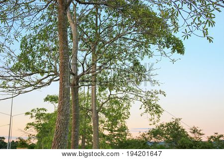 tree and branch leaf beautiful in evening public park :Select focus with shallow depth of field
