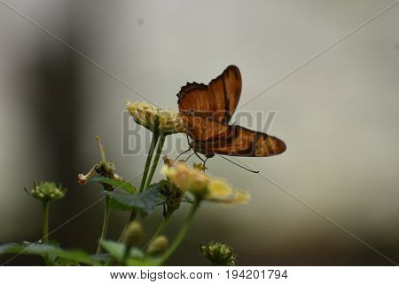 Stunning Orange Gulf Fritillary Butterfly On Flowers