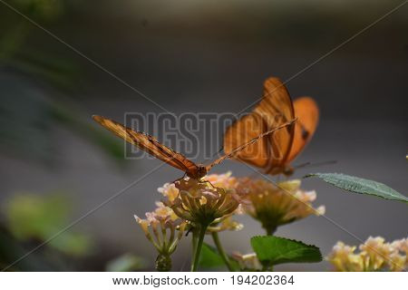 Two Gorgeous Orange Gulf Fritillary Butterflies On Flowers