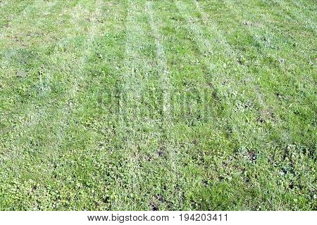 Mown natural stripe green grass filed as background in summer day