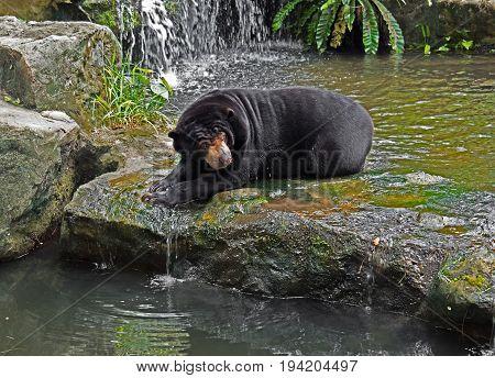 Malayan Sun Bear Lie Down on Rock near Stream Waterfall
