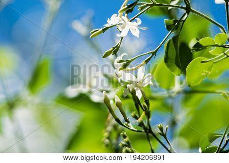 Azores Jasmine (Jasminum azoricum) flower in garden, blooming jasmine, blue sky background
