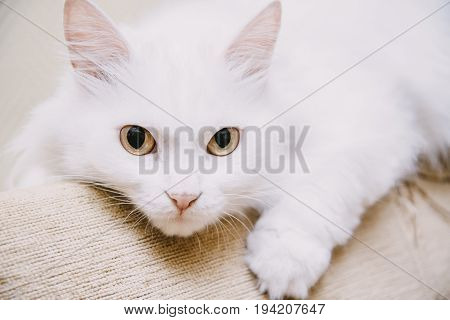 Portrait of cute fluffy white turkish van cat lying on sofa staring at camera.