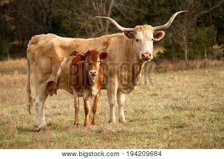 A Texas Longhorn heifer and her calf standing next to her.