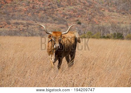 Texas Longhorn Cattle in front of a hill looking at the viewer